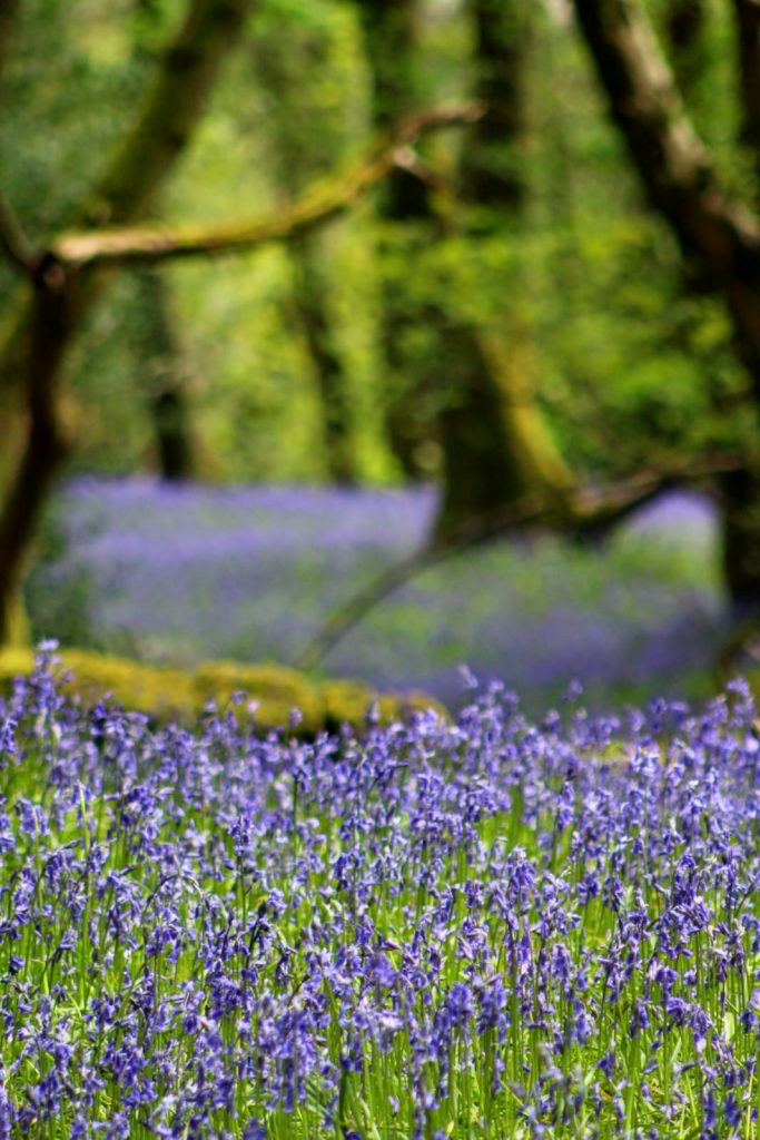 Bluebells at Beverley End