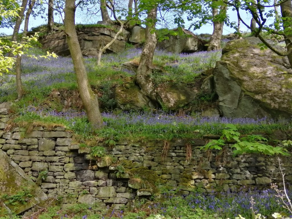 Vaness's walk - Bluebells at Beverley End